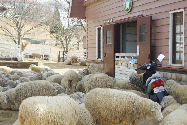 羊と原チャ