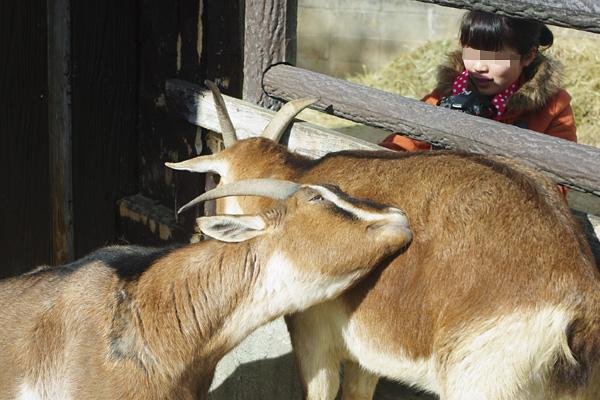 カメラ女子とヤギ