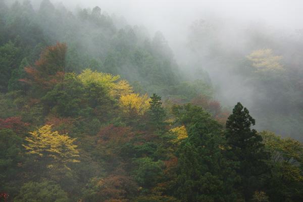 霧の中の黄葉1