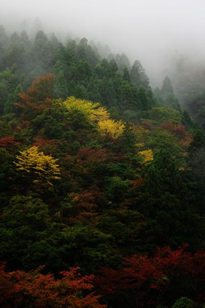 霧の中の黄葉2