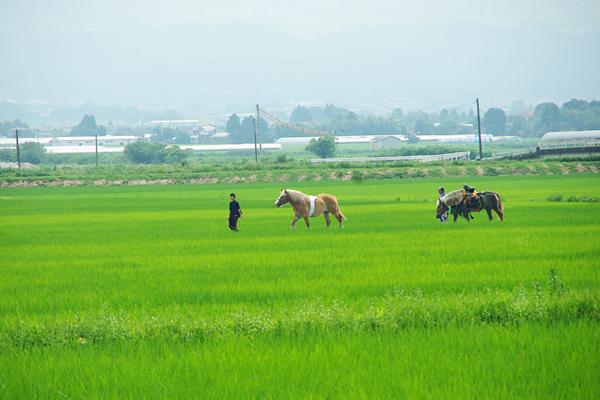 田んぼの中のお馬さん