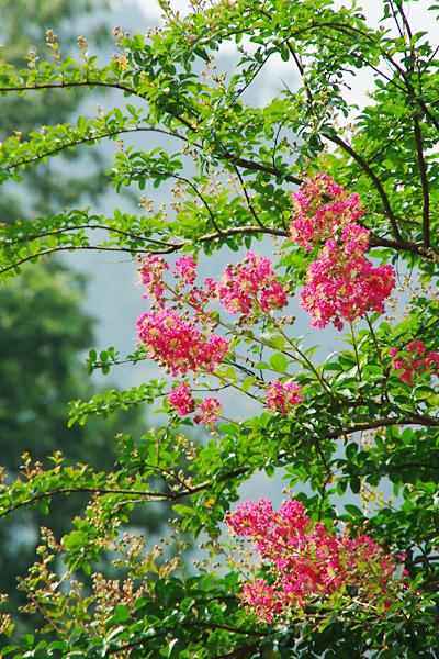 お庭にピンク