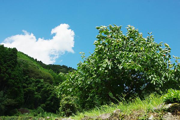 カキの木と青い空